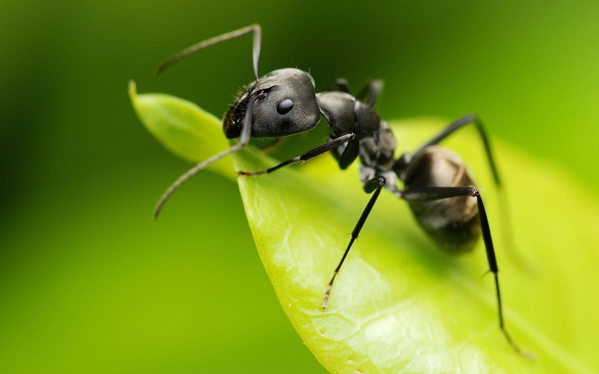 How-To-Get-Rid-Of-Bed-Ants